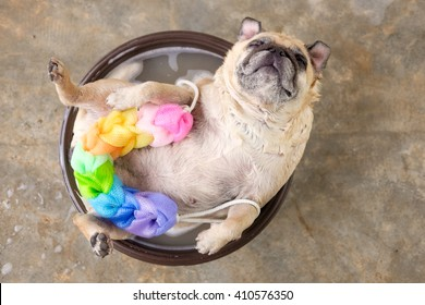 Pug lying to bath in a brown bowl with colorful sponge.