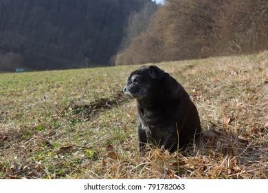 pug mops named adelheid doing winter sun relaxing on a field in south germany park in january