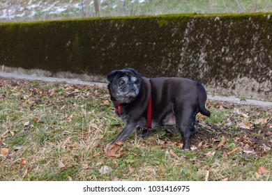 pug mops named adelheid having a outdoor walk in winter february evening sunset in south germany countryside
