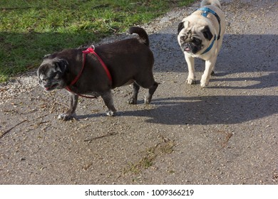 pug mops named adelheid and other pug named willie in city park of historical city in south germany