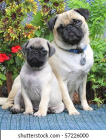 Pug Mother and Puppy