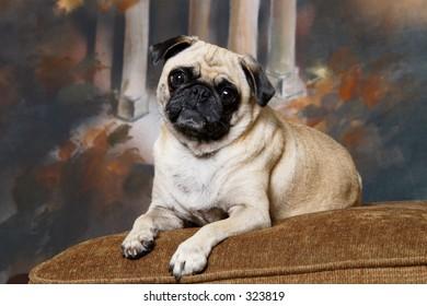 Pug on a cushion