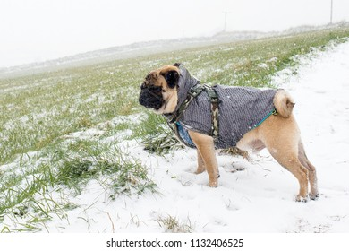 Pug out for a walk in the snow