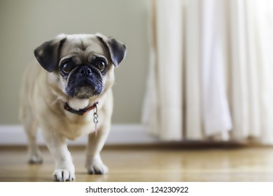 Pug Pekingese mix, puginese. shallow depth of field, warm colors, natural light, sad looking dog