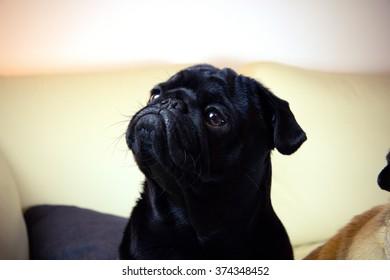 Pug portraits