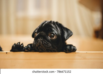 Pug puppies hold onto the wooden barrier
