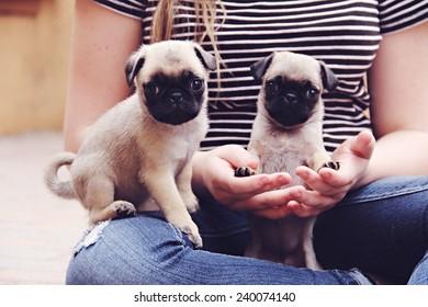 Pug puppies teeny tiny
