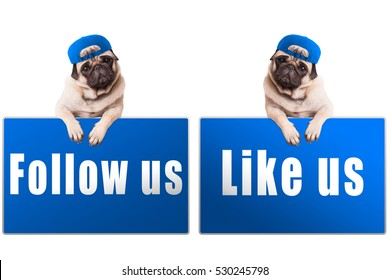 pug puppy dog with blue follow us and like us sign and wearing blue cap, isolated on white background