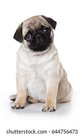 pug puppy dog looking at the camera (isolated on white background)