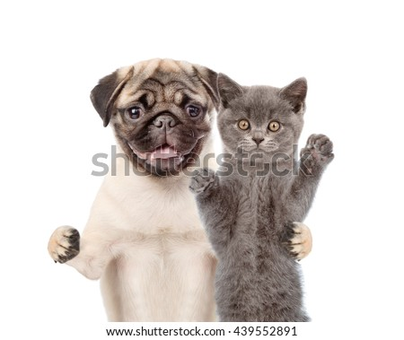Pug Puppy Embracing Scottish Cat Isolated Stock Photo Edit Now