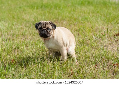 a pug puppy has a bowel movement or facilitates nature on the grass. training a puppy to go to the toilet on the street