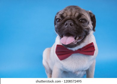 Pug puppy isolated on blue background. Happy dog concept. With space for text