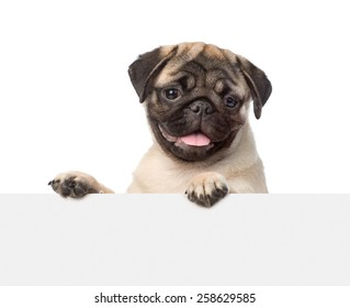 Pug puppy looking at camera from behind empty board. isolated on white background