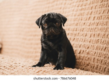 Pug puppy on the couch