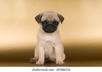 Pug puppy on golden background at studio