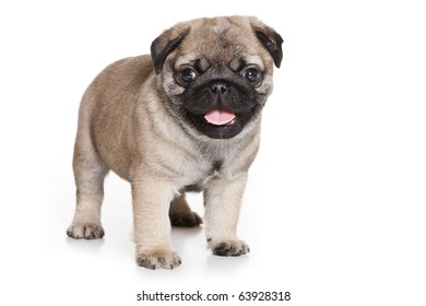 Pug with Puppies Stock Photos, Images & Photography | Shutterstock