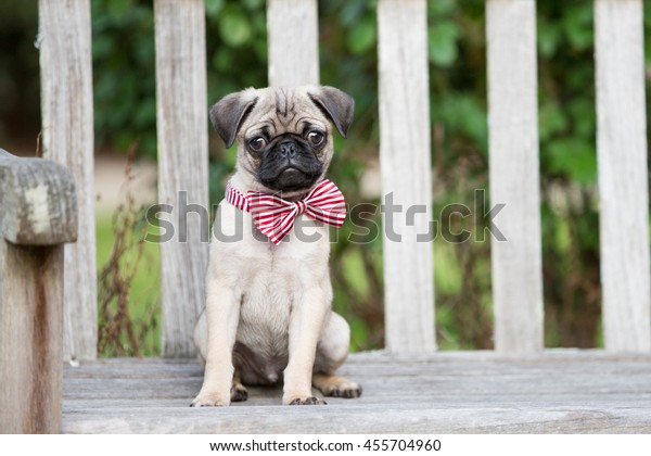 Pug puppy sits on a wooden bench in the garden