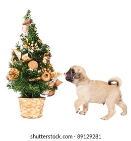 Pug puppy with a small Christmas tree, isolated on white