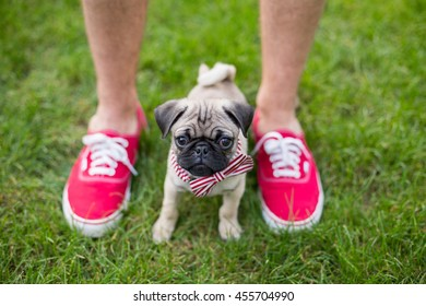 Pug puppy stands with owner who wears red shoes