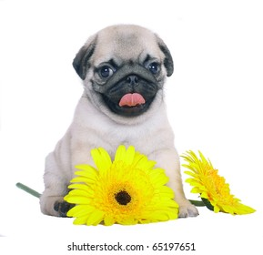 Pug puppy with yellow chrysanthemums.