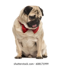 Best Pug Bow Adorable Dog - pug-red-bow-tie-sitting-260nw-608171999  You Should Have_12320  .jpg