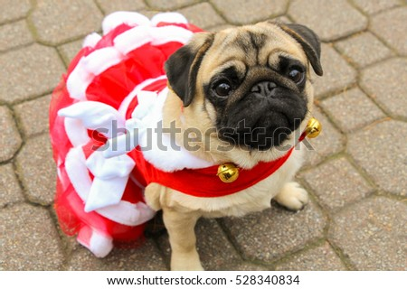 Pug in red and white Christmas dress - Pug Red White Christmas Dress Stock Photo (Edit Now) 528340834