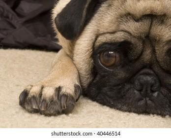 Pug Resting