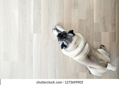 the pug is resting on the natural parquet,  tired mops dog lies on the floor, top view