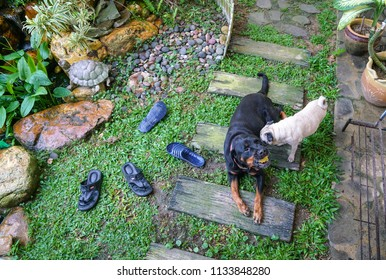 Pug and Rottweiler in a garden