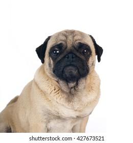 Pug sandy color thinking portrait isolated on white background
