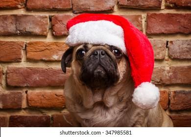 pug in a santa hat