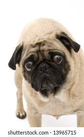 """Pug saying """"What are you up to?"""""""