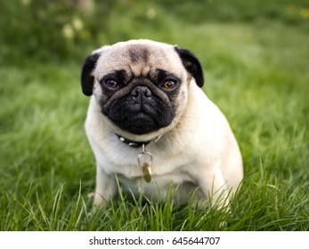 A pug sitting in the grass