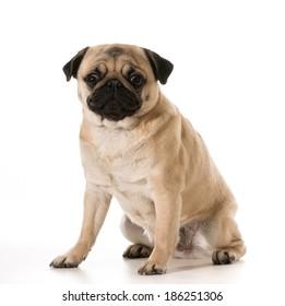 pug sitting isolated on white background