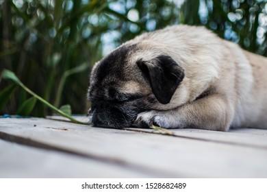 A pug sleeping neer a lake