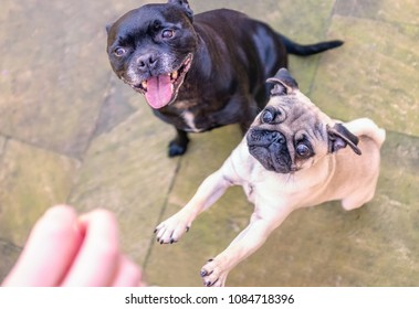 Pug and Staffordshire bull terrier dog outside waiting for a treat. The black terrier is sitting patiently with an open mouth smile. The pug is jumping up with wide eyes