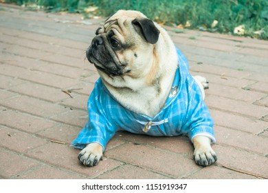 pug in the summer park