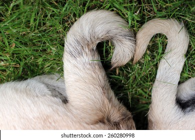 pug tails in a heart