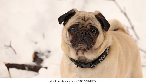 A pug that is prancing through the snow, as it is still lightly falling. The pug is a very small and cute dog.