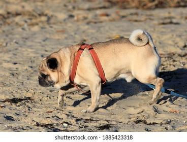 Pug walking on the beach