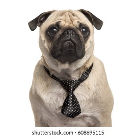 Pug wearing a bow tie
