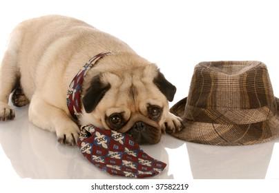 pug wearing men tie laying beside fedora
