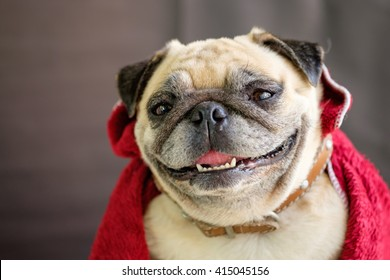Pug wearing a red fabric.(The Vampires pug.).