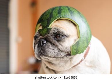 Pug wearing a watermelon helmet (The Pugs Hero) .
