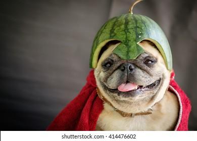Pug wearing a watermelon helmet (The Pugs Hero).