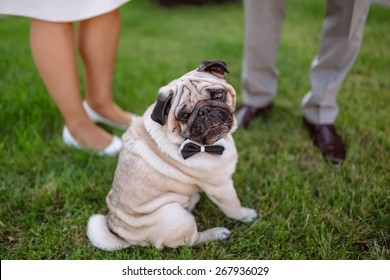 pug, wedding dog on the background of the feet on the grass, pug wearing bow tie,