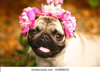 Pug-dog on a picnic party. A happy pug puppy dog in the colors of peonies.