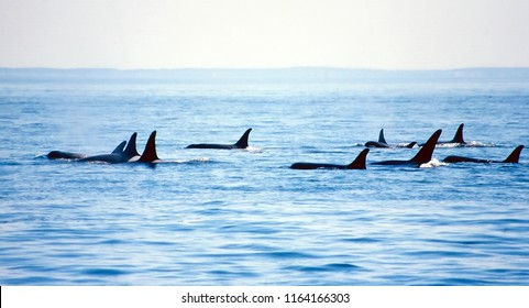 Puget Sound, Washington / USA - June 5, 2002: The J Pod of orcas swimming in the Puget Sound, June 5, 2002.