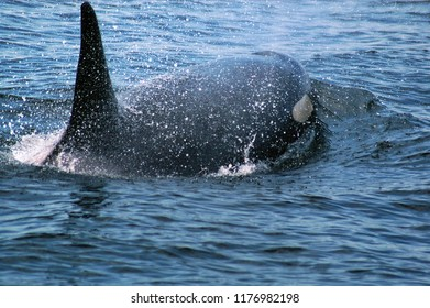 Puget Sound, Washington / USA - September 3, 2006: An orca expelling water through its blowhole in the Puget Sound on September 3, 2006.