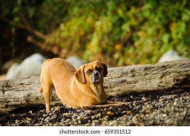 Puggle dog bowing down at rocky rugged beach